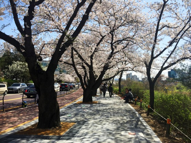 Cherry Blossom pic